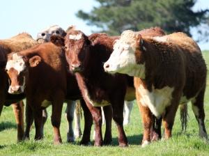 beef cattle in paddock_1
