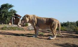 lion-alone-lions-web620