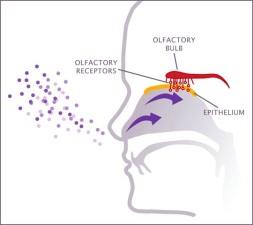 scent_receptors