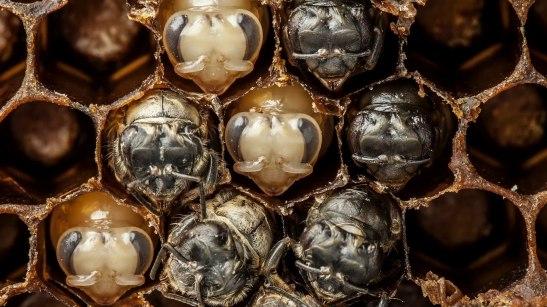 150513-varma-bees-screen-05