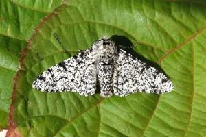 27 Peppered Moth_DxO