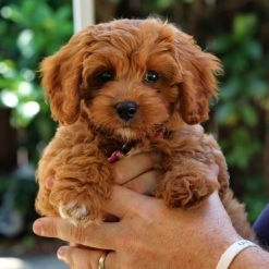 Cavoodle-Mitsy