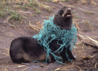 entangled seal