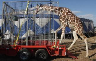 giraffe-circus